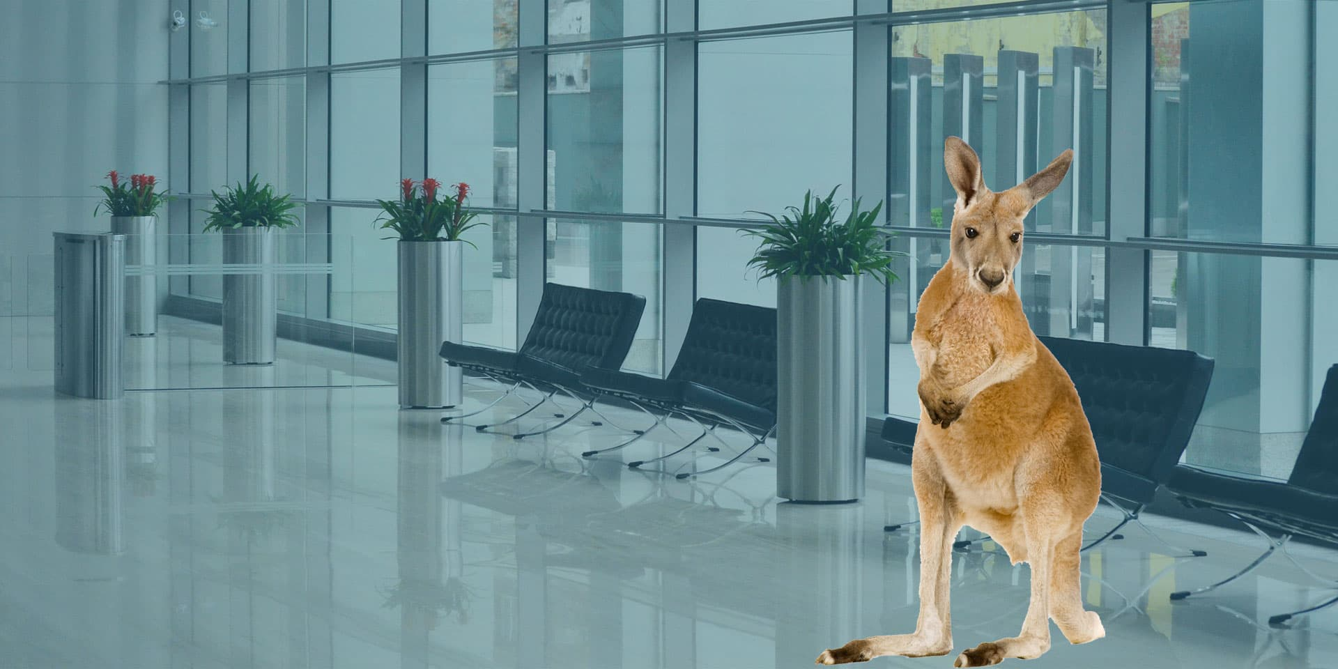 Kangaroo standing in a modern office building lobby with chairs and plants in silver cylindrical planters