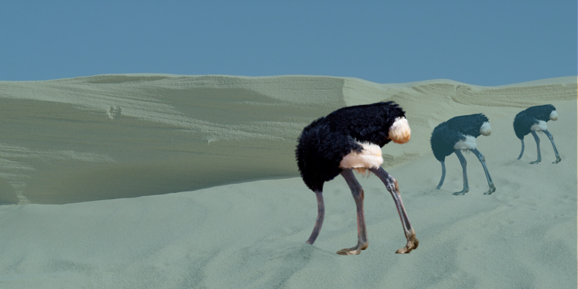 Three ostriches at various distances with their heads in the sand and a sand dune in the background
